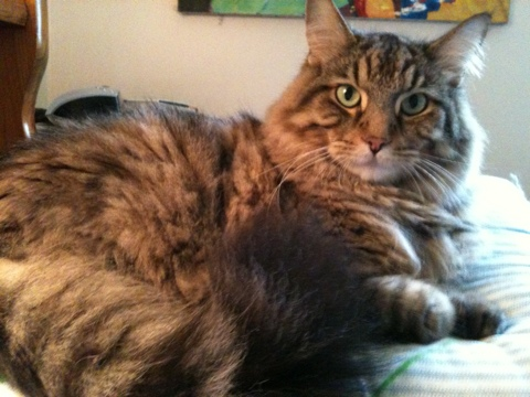 Noah-Maine-Coon-Cat